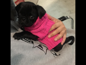 Pug Puppies for sale, Pug Puppy for adoption